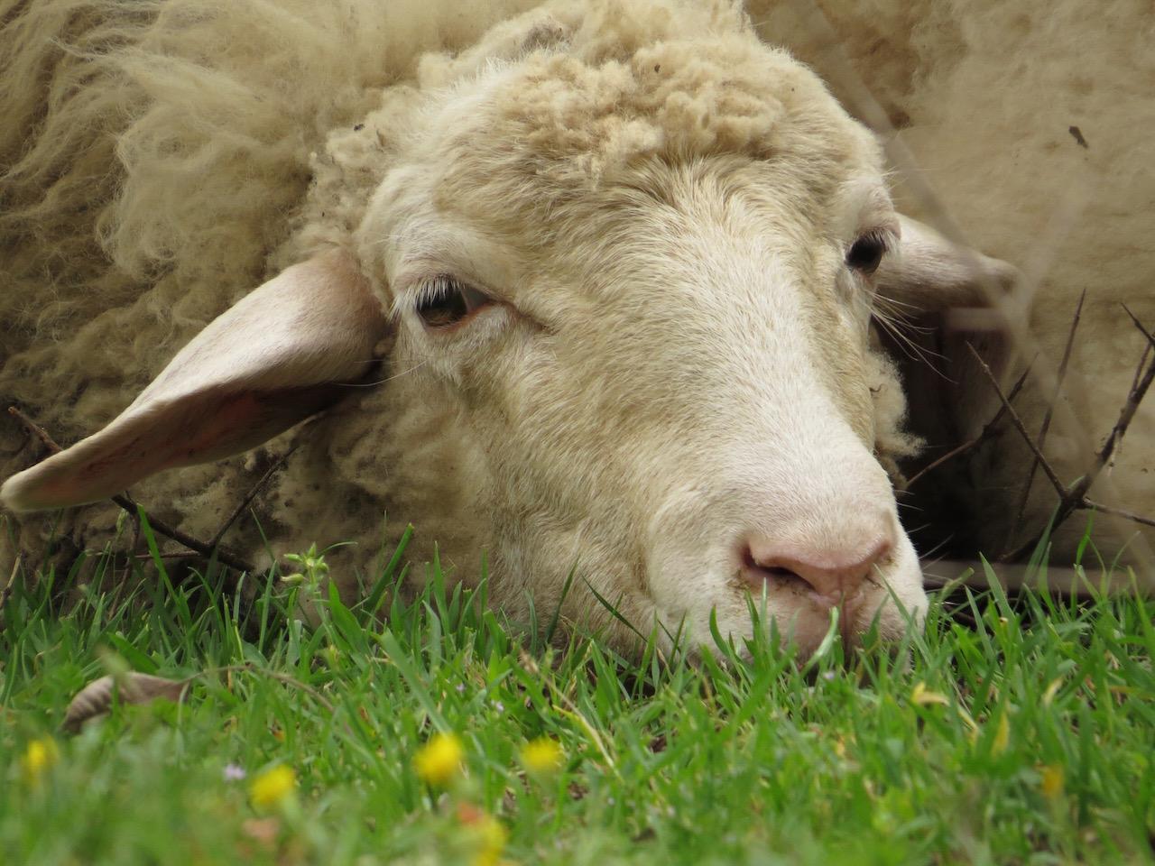 The Interrupting Sheep